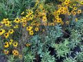 Fresh Take on Black-eyed Susans